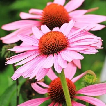 fleurs d'échinacée