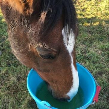 cheval qui boit une tisane