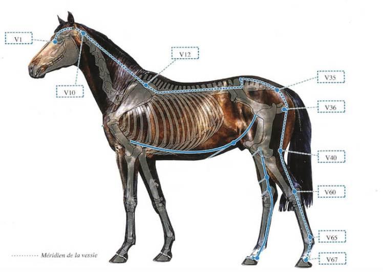 trajet du méridien vessie du cheval