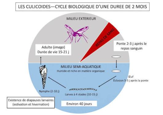 cycle du culicoïde