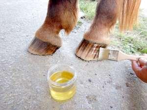 graisser les pieds du cheval à l'huile de laurier