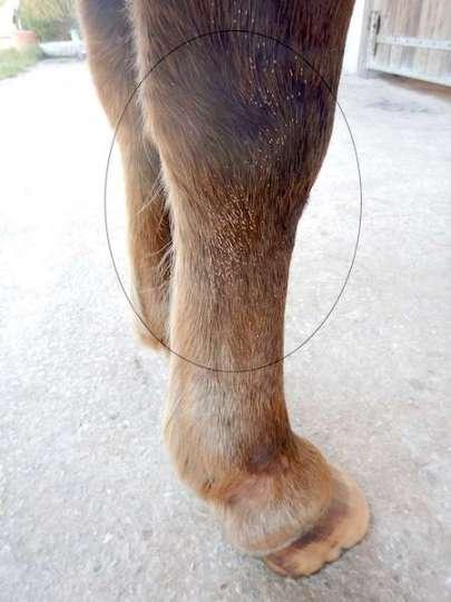 oeufs de mouche sur jambe cheval