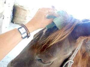nettoyer la tête d'un cheval