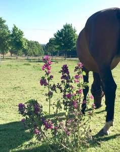 mauve et cheval