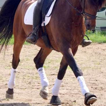 cheval de dressage au trot moyen