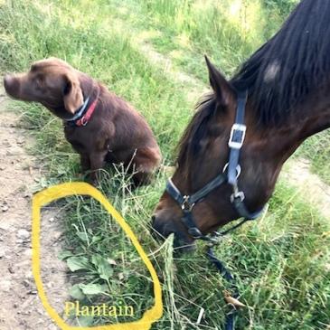 du plantain pour les chevaux