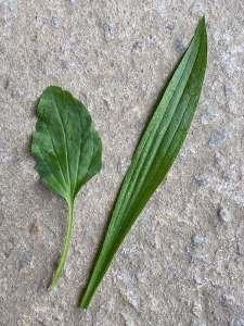 deux feuilles de plantain différentes